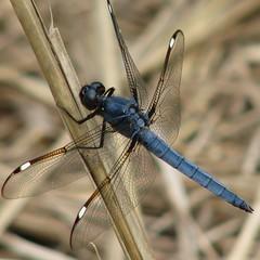 Spangled Skimmer, male (Vicki's Nature) Tags: blue male canon georgia ode dragonfly return skimmer s5 spangledskimmer vickisnature beautifulworldchallenges vosplusbellesphotos bwcgspellgrasslands