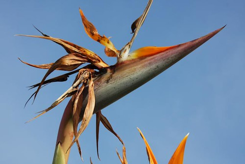 Paradise Lost 32 365 A Bird of Paradise past its peak and in decline