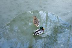Duck on the ice 9 (- MiNo -) Tags: snow ice duck walk lac neige chteau canard etang fvrier