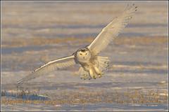 Owl (Snowy) - 1206 (Earl Reinink) Tags: flight raptor snowyowl snowyowlinflight earlreinink wwwearlreininkcom wwwipaintca