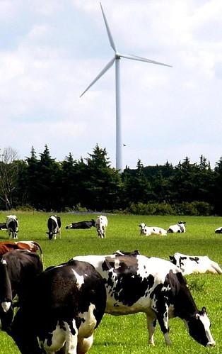 Vindmøllerne og ko.