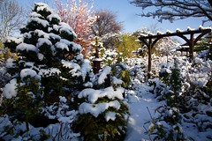Sunshine and blue skies after snow (Four Seasons Garden) Tags: charity uk winter england urban snow west english beautiful marie gardens garden four all open seasons picture tony national fourseasons scheme staffordshire newton walsall midlands ngs nationalgardenscheme fourseasonsgarden