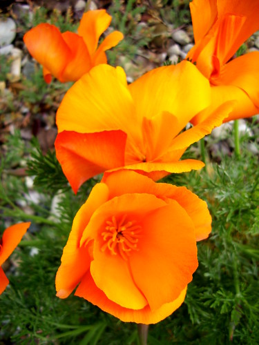 California Poppies II