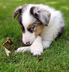 Yogi (ramagrrl) Tags: delete10 puppy michigan delete save yogi save6 australianshepherd deletedbydeletemeuncensored