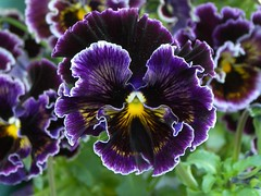 Positively Victorian Pansy (teresue) Tags: flowers flower garden flora blossom pansy bloom