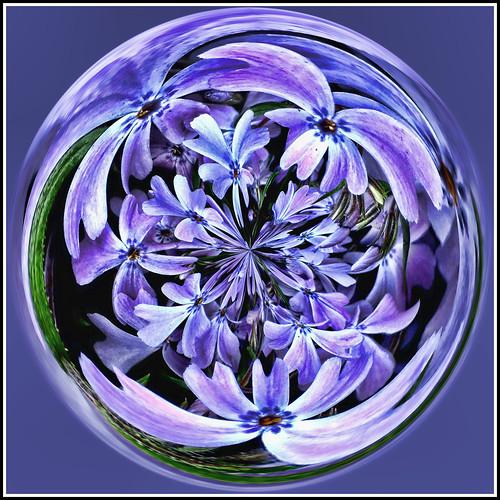phlox globe