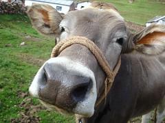 Yummi close up ? (Yeff Medina) Tags: peru cow cattle cows farm ganado vacas puno ganaderia happycow brownswiss braunvieh