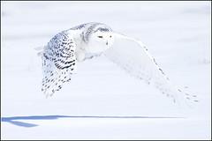 Owl (Snowy) - 1832 (Earl Reinink) Tags: flight raptor snowyowl snowyowlinflight earlreinink wwwearlreininkcom wwwipaintca