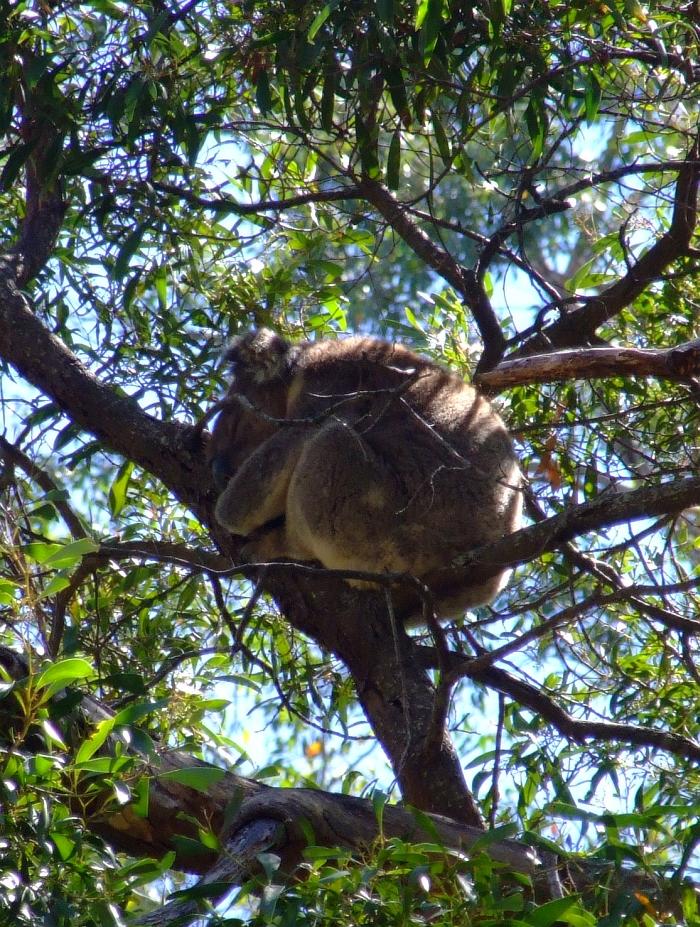 very cute koala