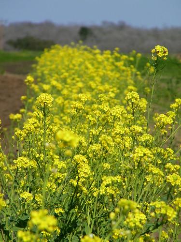 Flowering bok choy