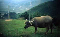 sapa (mark justin harvey) Tags: film animal fuji slide olympus vietnam expired e6 sapa waterbuffalo fujivelvia50 om2n rvp50 zuiko50mmf14
