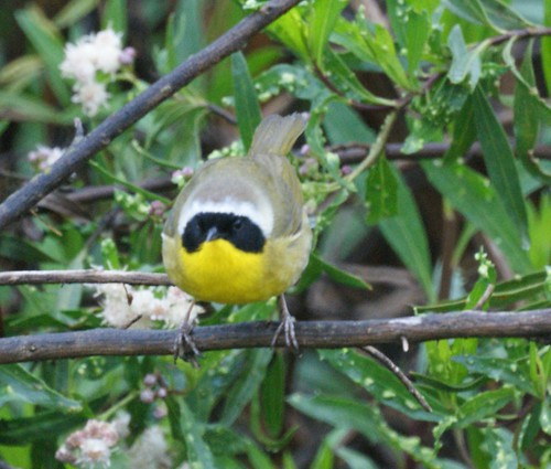 Common Yellowthroat: San Joaquin Wildlife Sanctuary
