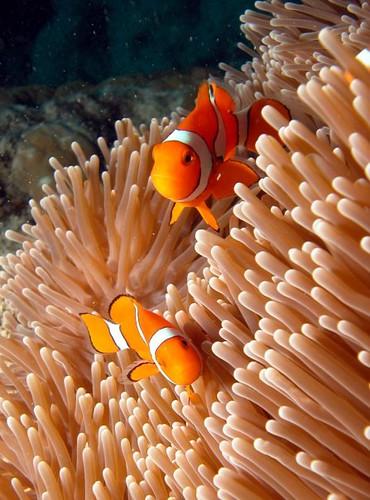 anenome_fish