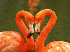 Flamingo Love (DaveKav) Tags: pink love birds zoo heart flamingo flamingos valentine valentinesday whipsnade superaplus aplusphoto prettyflamingo zslwhipsnadezoo blinkagainfrontpage