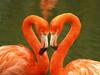 Flamingo Love (DaveKav) Tags: pink love birds zoo heart flamingo flamingos valentine valentinesday whipsnade superaplus aplusphoto prettyflamingo zslwhipsnadezoo blinkagainfrontpage