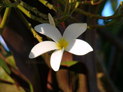 iluminada (Silvianasci) Tags: luz garden poem flor jardim poesia plumera branca poema mistrio cecliameireles suavidade simno silvianasci mimodemaria