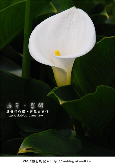 【2010竹子湖海芋季】陽明山竹子湖海芋季~海芋盛開囉!26