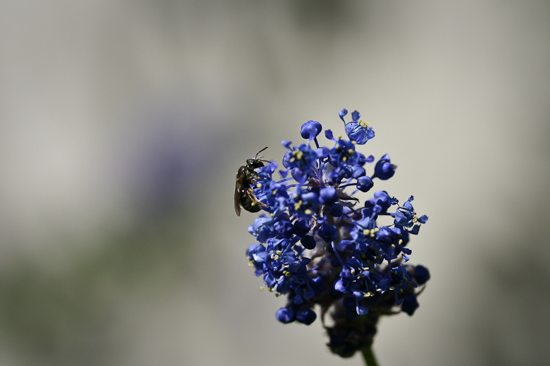 blue ceanothus with bee