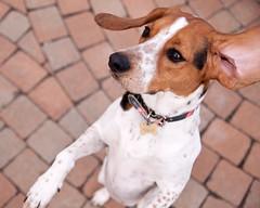 Yahoo! (Paguma / Darren) Tags: dog hound floyd tamronspaf1750mmf28xrdiiildasphericalif