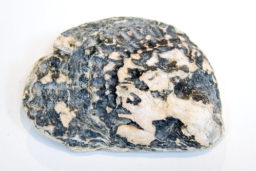 oystershell