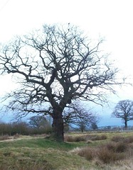 tree2 (arlechinna) Tags: winter tree oak shropshire telford highley