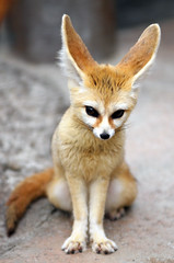 Fennec fox (floridapfe) Tags: cute animal zoo nikon fox creature everland fennecfox