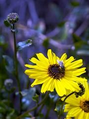 Bee on Flower (marctonysmith) Tags: california usa flower yellow hiking olympus bee e3 pasadena zuiko 2010 eatoncanyon zd 1260mm