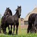 3 Frisian Horses