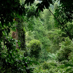 The rhythm of the jungle takes you higher (B℮n) Tags: topf50 rainforest wildlife getwet topf100 topf200 gibbon borntobewild southernlaos whitecheekedgibbon crossingtheriver 100faves 50faves thickforest 200faves lushvegetation paksong bolavenplateau monsoonforests deepinthejungle lushgreen nevelwoud witwanggibbon beautifulatmosphere densejungle mountainrivers nomascusleucogenys coolclimate cloudforests swingingthroughthetrees pakxong endlesscoolbreeze donghuasaonationalpark tropicalevergreenhighlandmoistforest abundantrainfall richvolcanicsoil 1300metersabovesealevel trekkingthroughtherainforest monkeyinthejungle theextensivejungleofdonghuasao evergreentropicalrainforests gibboninthetree therhythmofthejungletakesyouhigh nationalbiodiversityconservationareas parkdonghuasaonationalpark