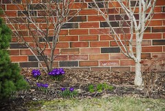 Spring Crocuses