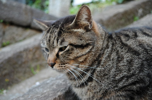 池上本門寺の猫