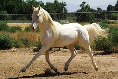 Extended Trot (romeolover410) Tags: horse paint ghost albino colt stallion equine riverdance cremello kenos tobiano apha