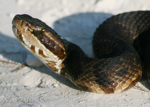 Eye to Eye with a Florida Cottonmouth