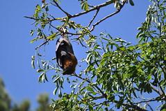 Royal Botanic Gardens (private miguev) Tags: park animal mammal bat sydney australia newsouthwales nikkor botanicgardens royalbotanicgardens oceania 200mm 200mmf4 pteropuspoliocephalus nikkor200mmf4 pteropodidae nikkor200mm14