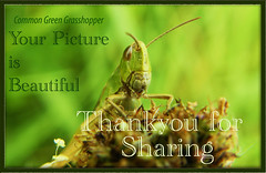 Common Green Grasshopper, ( Omocestus viridulus ),... 01b