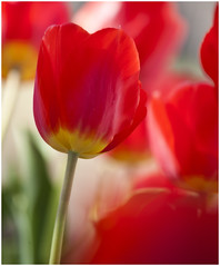 Our Red Ones (hz536n/George Thomas) Tags: red oklahoma spring lab bokeh tulip canon5d stillwater tulipa 2010 smrgsbord cs3 labcolor ef70200mmf4lusm flowersarebeautiful wonderfulworldofflowers hennysgardens esenciadelanaturaleza