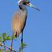 Tricolored heron Egretta tricolor