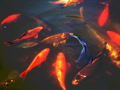 beautiful fish (Yasmin de light) Tags: fish nature water swimming swim pond colours vivid sparkle beautifulfish