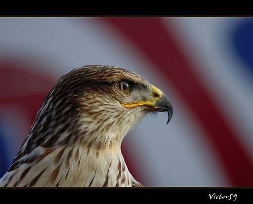 Ritratto di falco