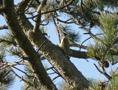 12236 - Green Woodpecker, Pontarddulais
