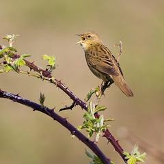 "Grasshopper Warbler (Locustella naevia) (""Clare"") Tags: bird nature wildlife nottinghamshire attenboroughnaturereserve grasshopperwarbler canon40d canon400prime"