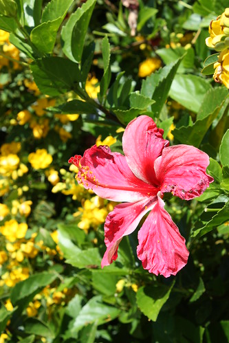 Hibiscus and Cassia