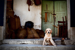 Good old ... (branimir milovanovic) Tags: dog goldenretriever serbia posing fav10 baranda branimirmilovanovic