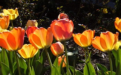 tulips (Julia Manzerova) Tags: nyc newyorkcity light sun sunshine spring tulips harlem juliamanzerova