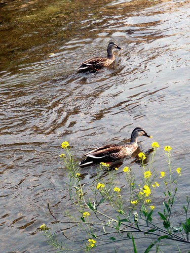 Ducks and flowers