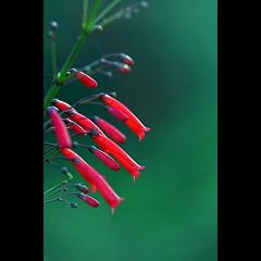 ... ruby bells ( Leanne) Tags: flowers red green nature beauty gardens bells flora nikon bokeh tubes queensland botanic ruby goldcoast rosserpark d300s