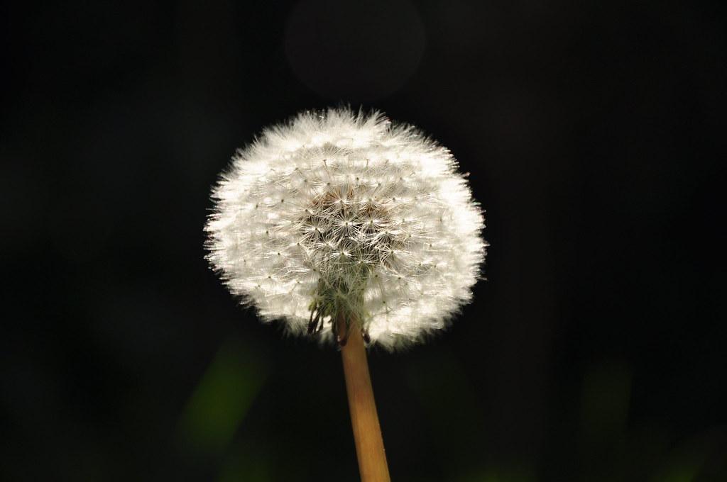dandelion dark