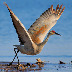 Sandhill Crane Take Off! (JRIDLEY1) Tags: blue bird water michigan milford sandhillcrane platinumphoto brightonmichigan nikond3 jridley1 jimridley httpjimridleyzenfoliocom photocontesttnc10 lifetnc10 jimridleyphotography httpwwwjimridleyphotographycom photocontesttnc11 photocontesttnc12