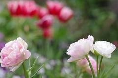 八重咲きチューリップ'アンジェリケ'
