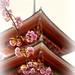 Cherry Blossoms at Kiyomizu